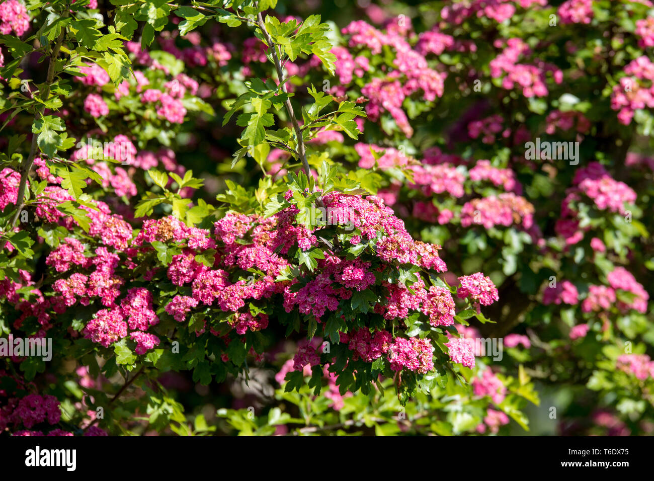 Pink flowers hawthorn tree - Stock Image