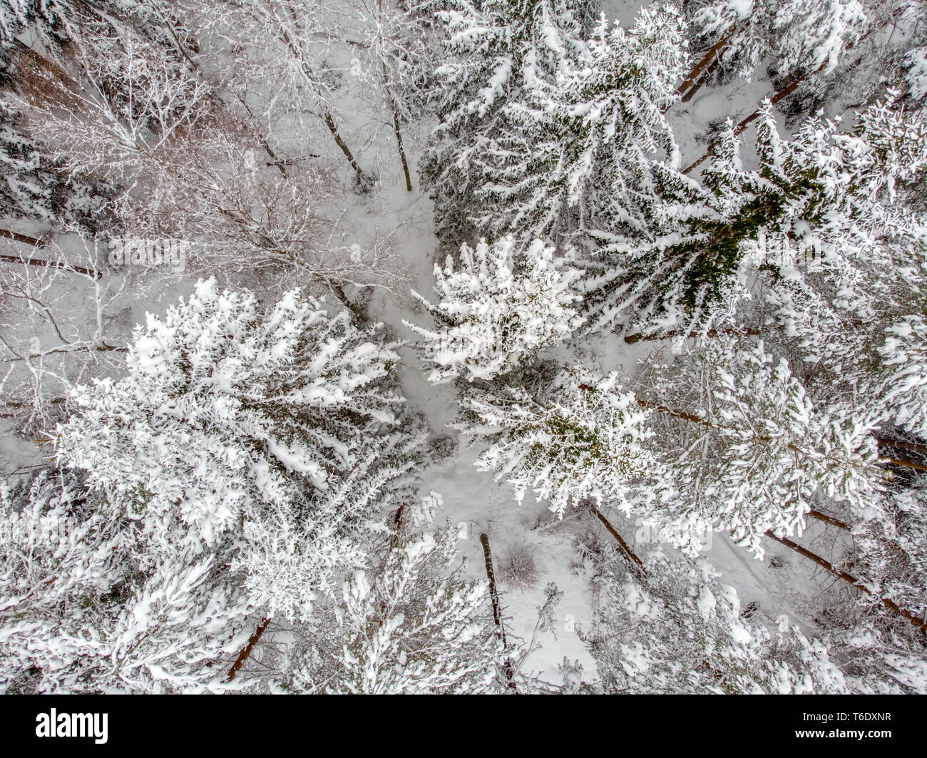 Evergreen forest in winter Stock Photo