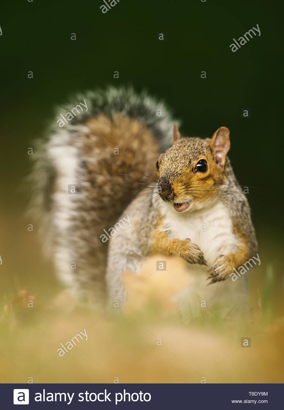 Surprised grey squirrel standing in autumnal leaves, UK. - Stock Image