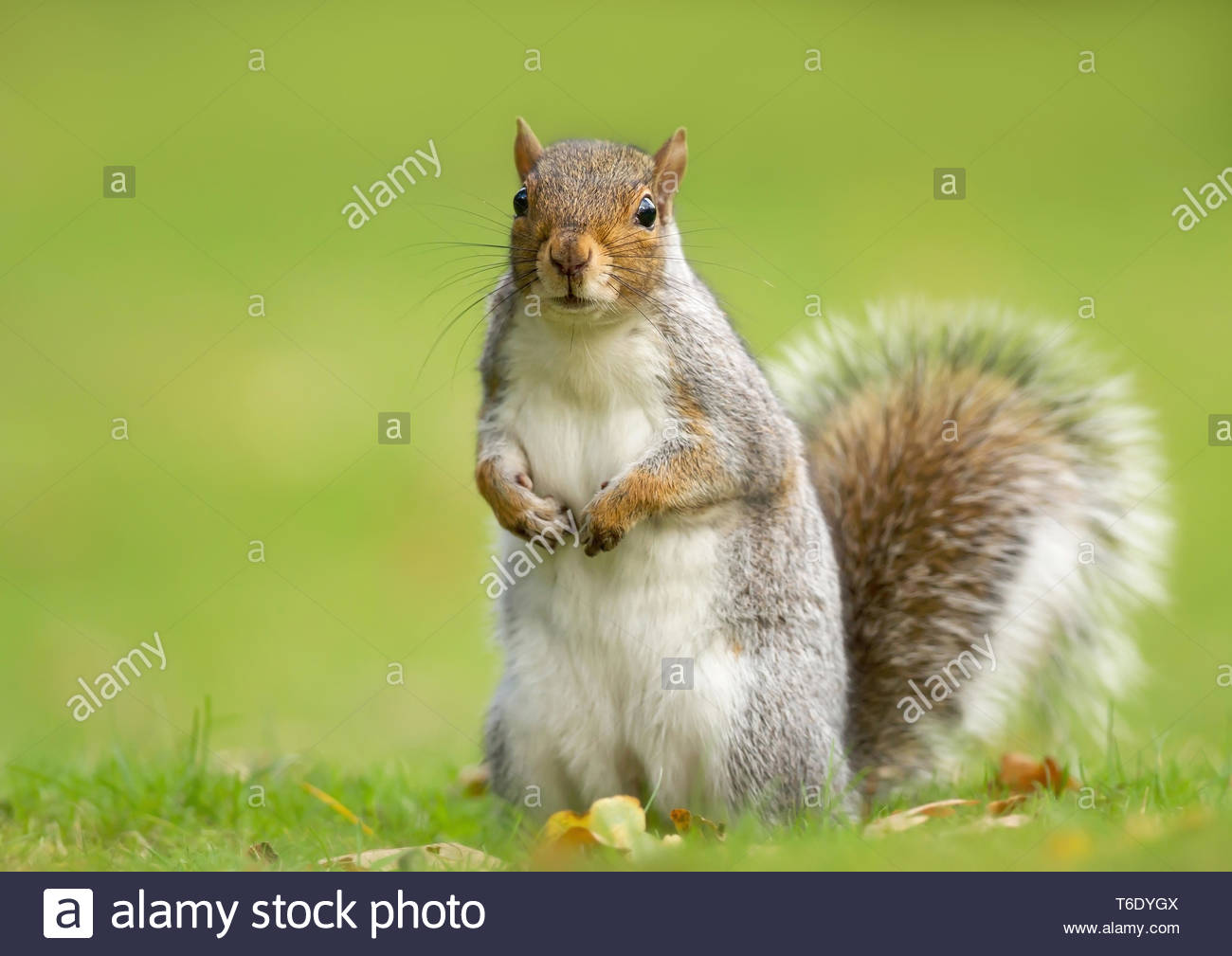 Surprised grey squirrel standing in autumnal leaves - Stock Image