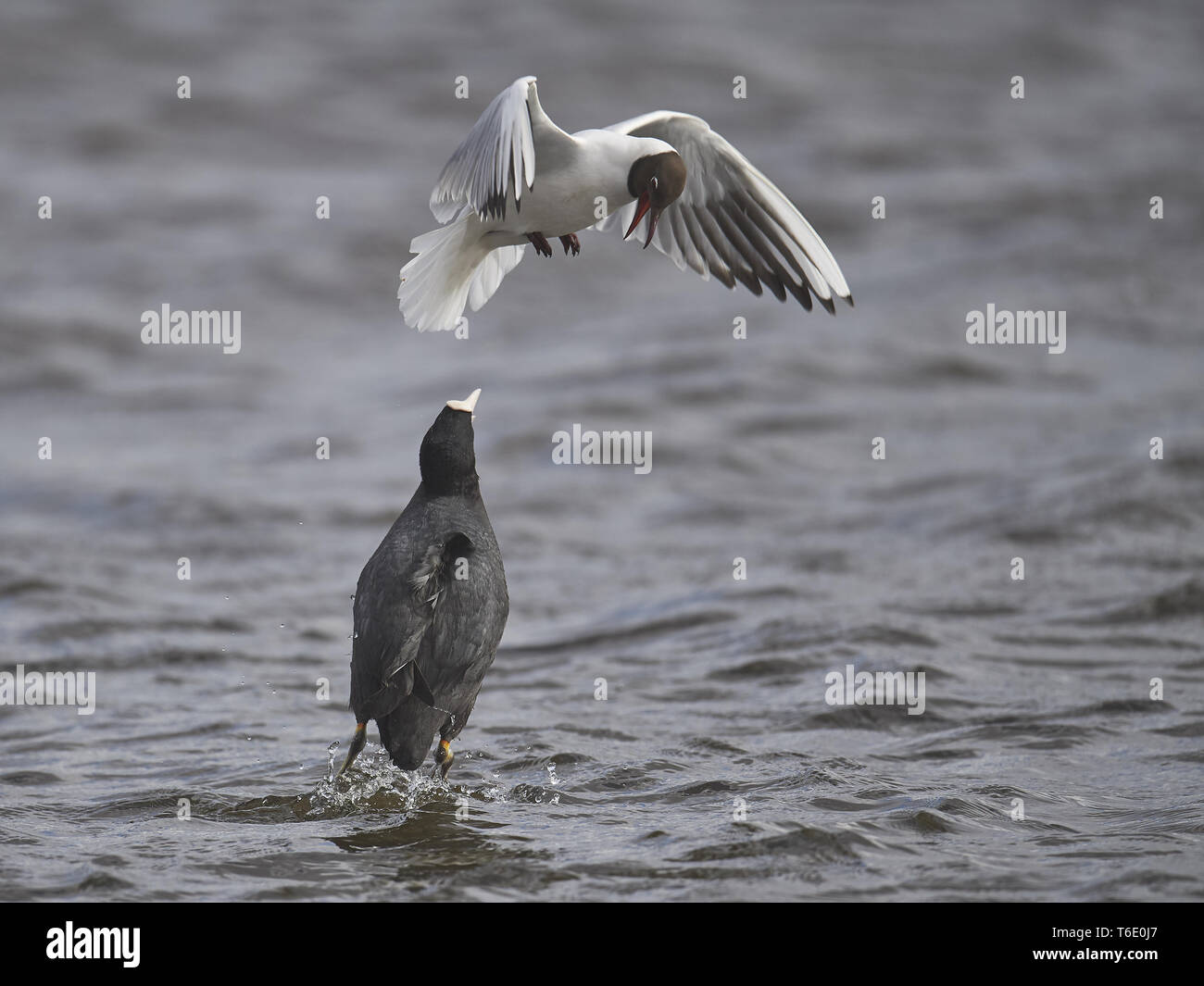 common black-headed gull, Chroicocephalus ridibundus, Larus ridibundus Stock Photo