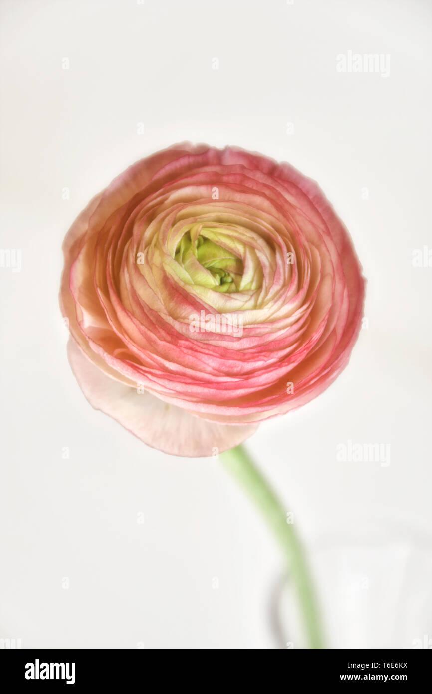 Persian buttercup, Ranunculus asiaticus - Stock Image