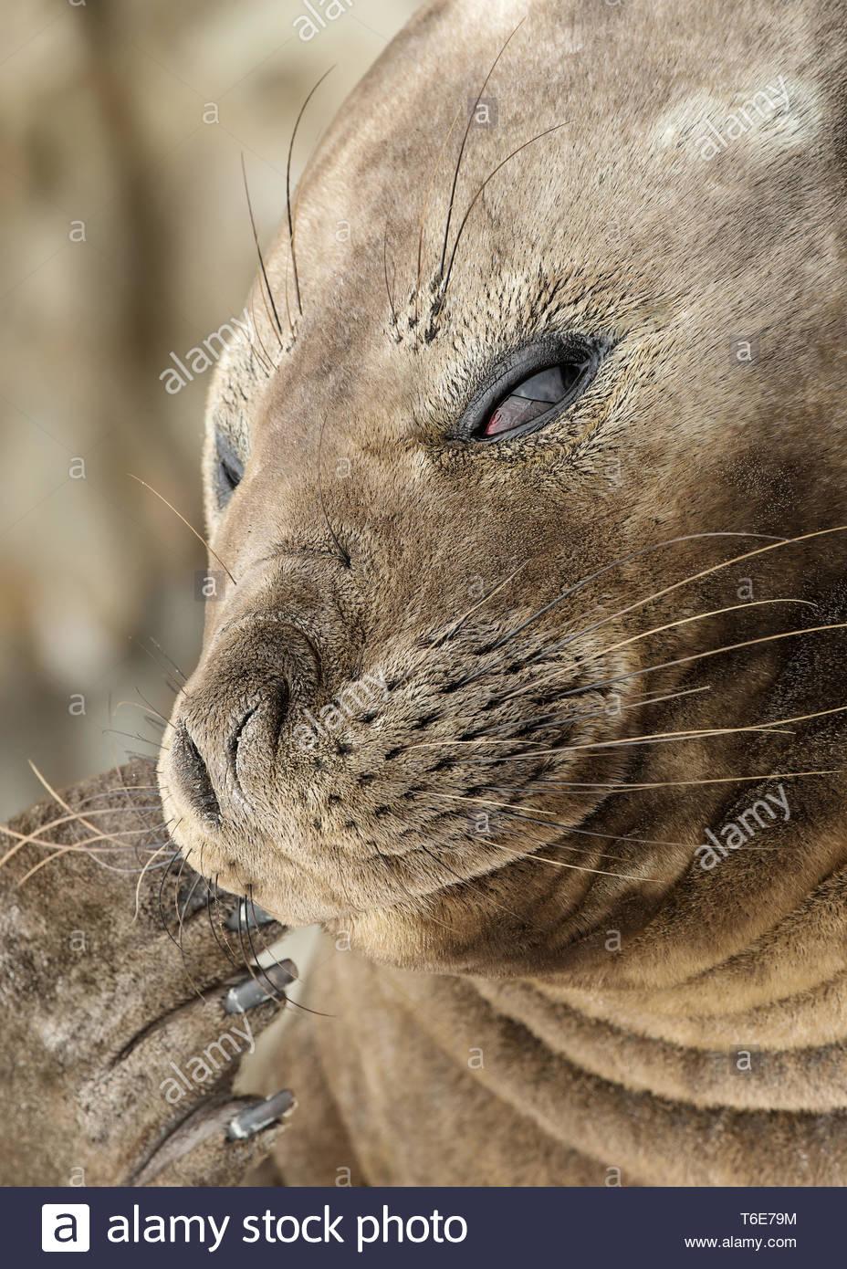 Southern elephant seal, mirounga leonina, Gold Harbor, Insle, South Georgia - Stock Image