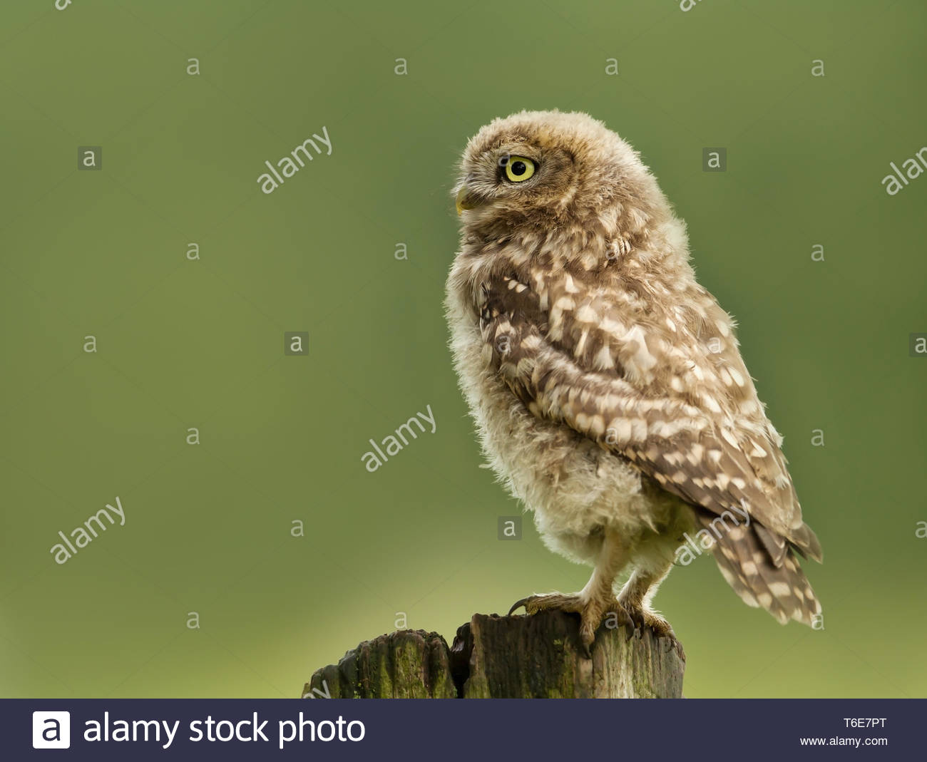 Weihnachtsmarkt Owl.Baby Little Owl Stock Photos Baby Little Owl Stock Images Alamy