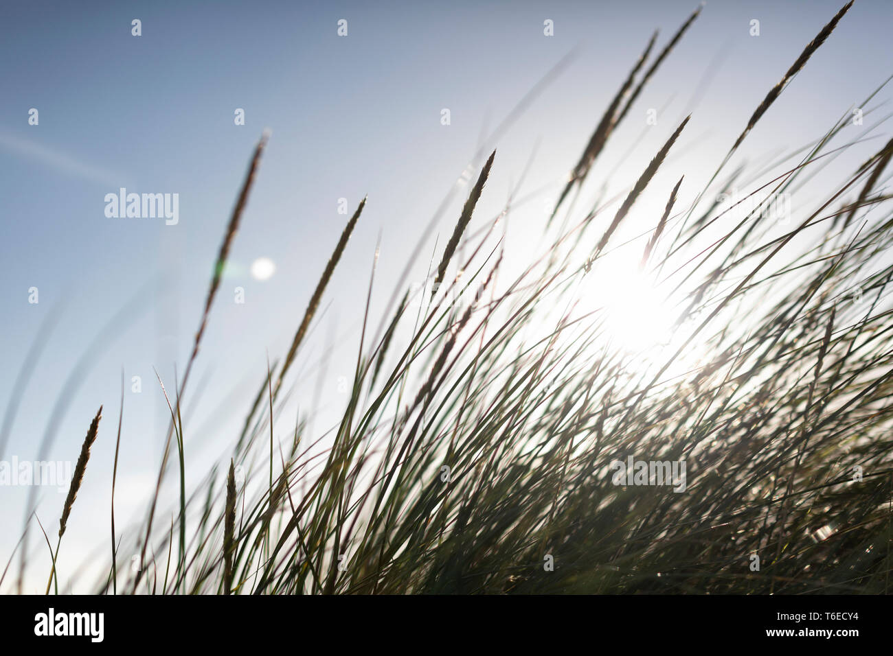 Maram grass against evening sunlight at a beach near to Boisdale, Isle of South Uist, Scotland. - Stock Image