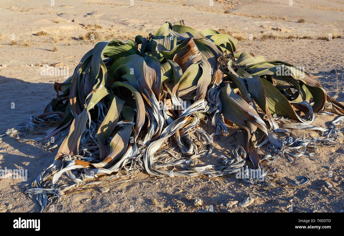prehistoric desert plant, Namibia Stock Photo