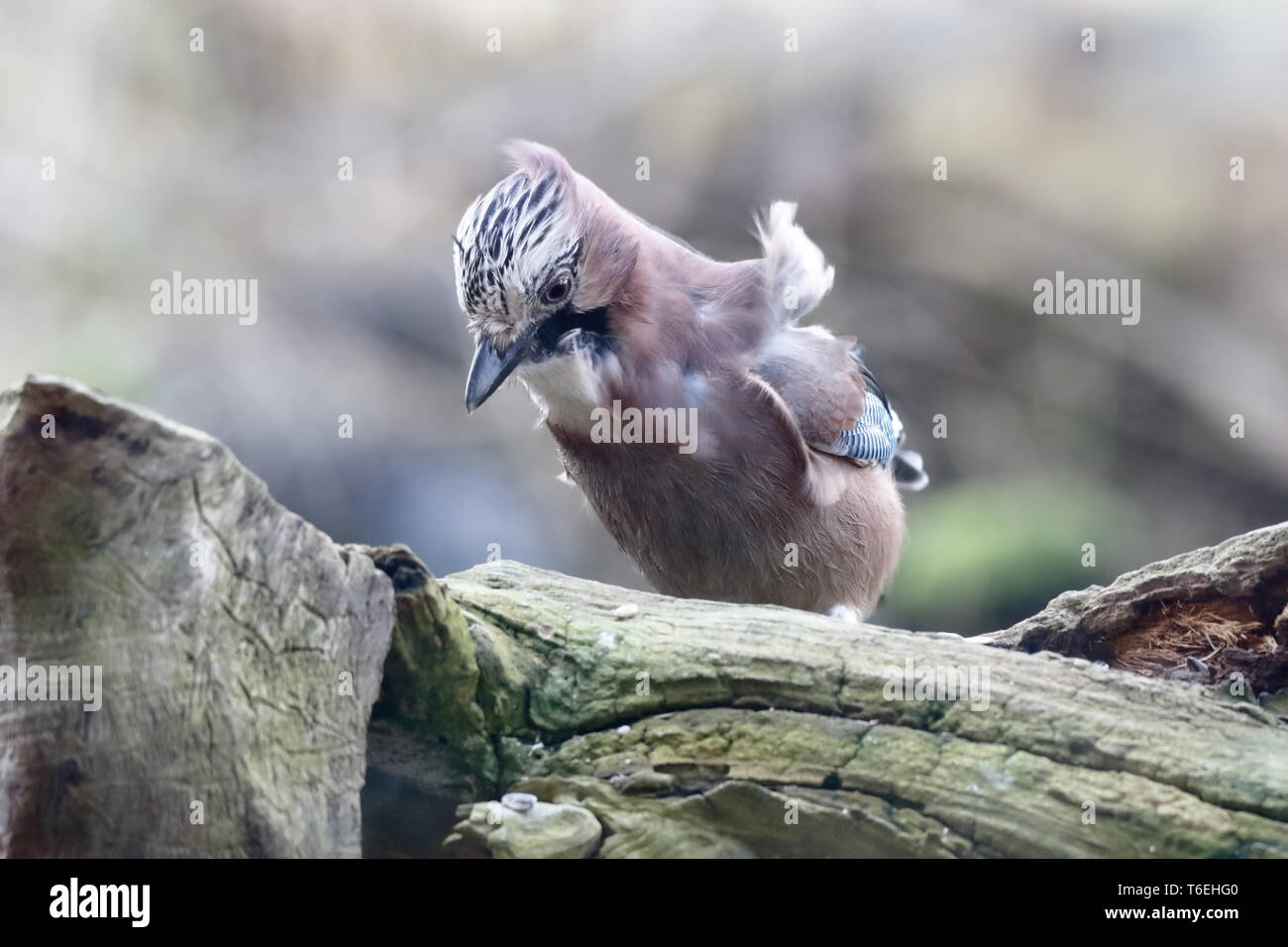 Jay in search of food - Stock Image