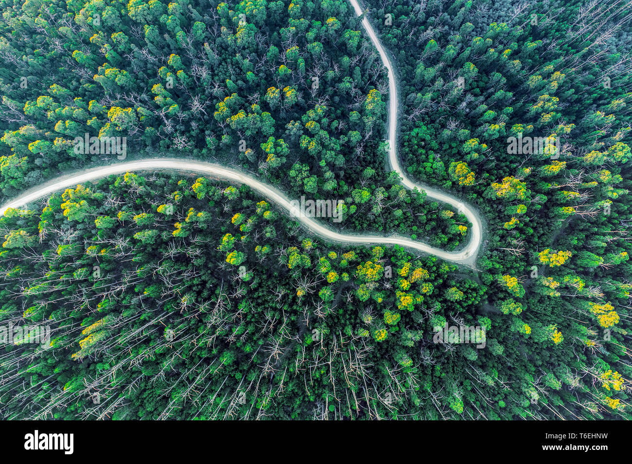 Top down view of road bending through eucalyptus forest at sunset Stock Photo