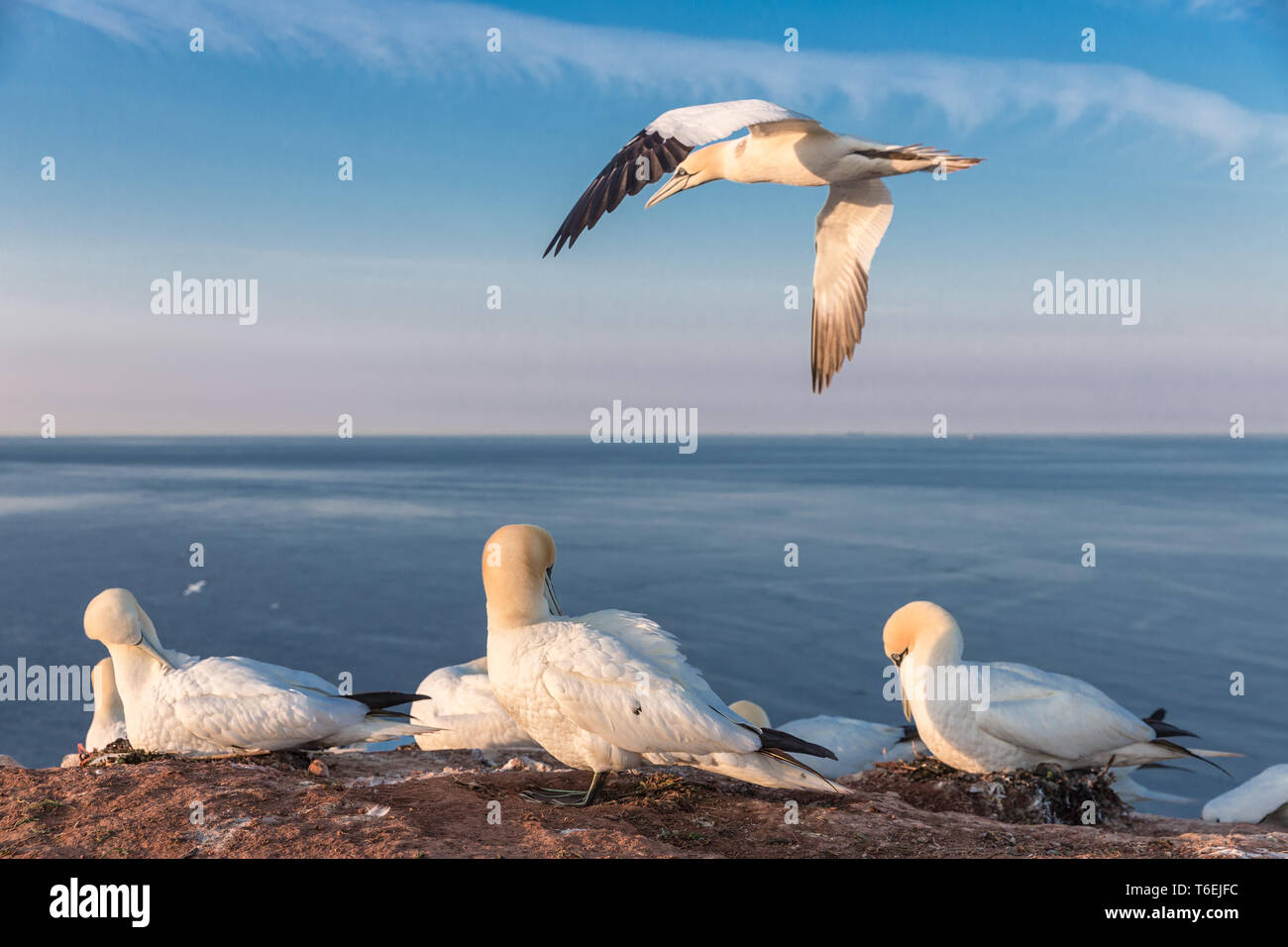 Northern gannets in breeding colony at cliffs of German Helgoland - Stock Image