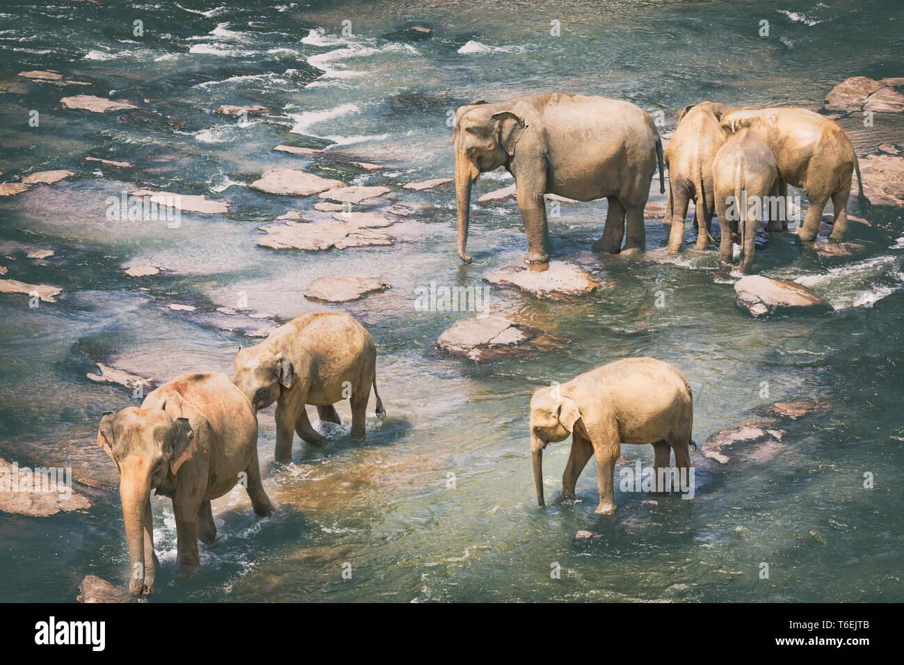 Elephants bathing in a river Stock Photo