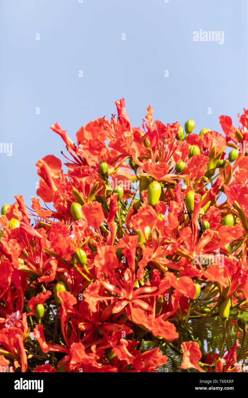 Red flowers on a Royal Poinciana tree Delonix regia - Stock Image