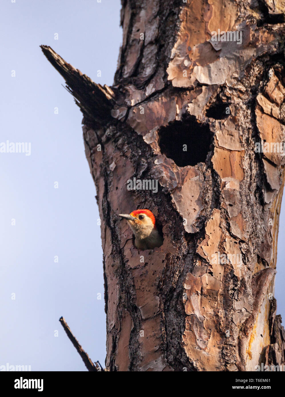 Red-bellied woodpecker bird Melanerpes carolinus in a nest hole - Stock Image