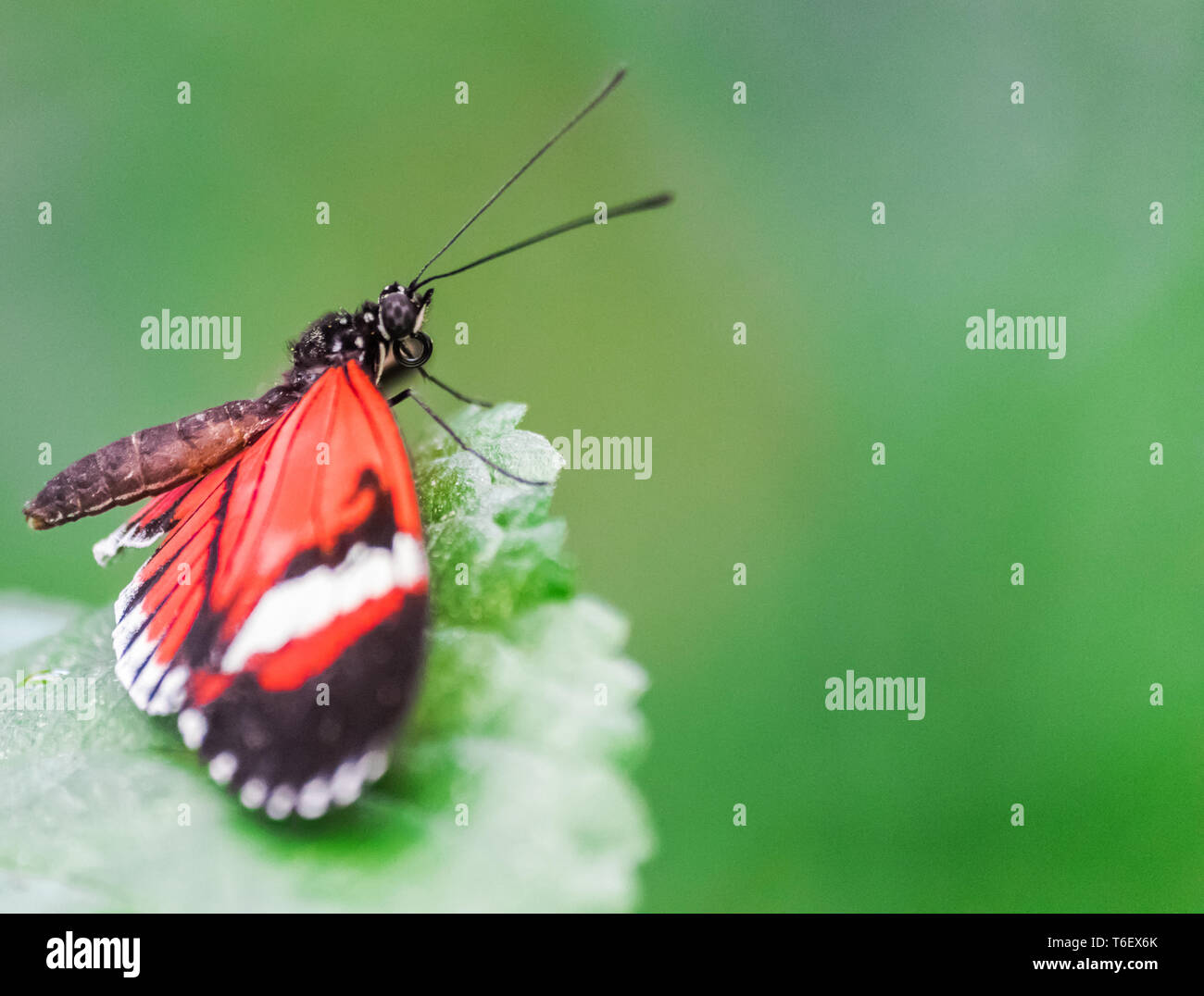 Heliconius melpomene, the postman butterfly resting on a green leaf with green vegetation background - Stock Image