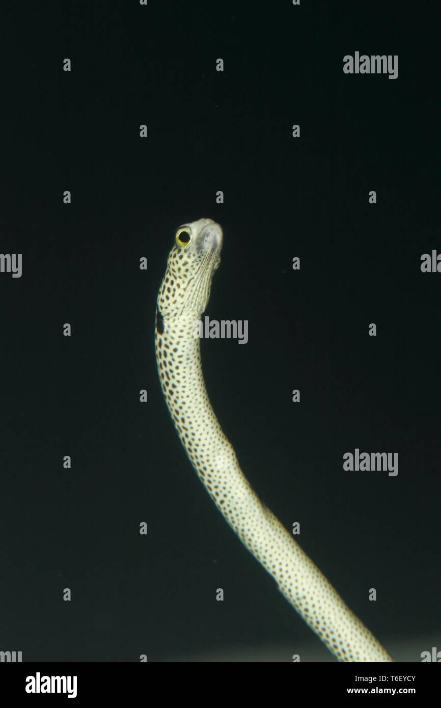 Spotted Garden Eel, Heteroconger hassi Stock Photo