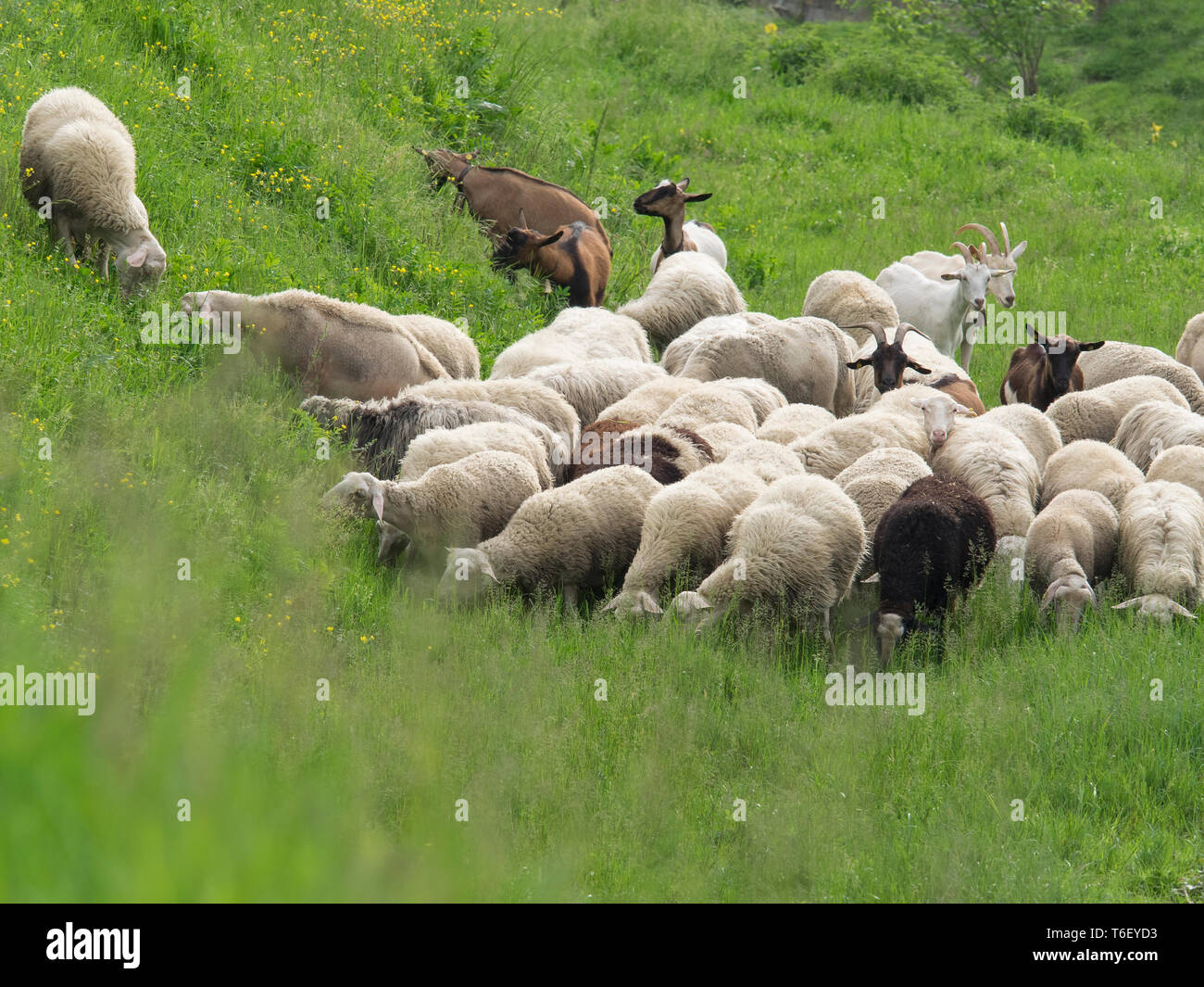 flock of sheep and goats grazing lush spring grass and flowers, in a sunny day - Stock Image