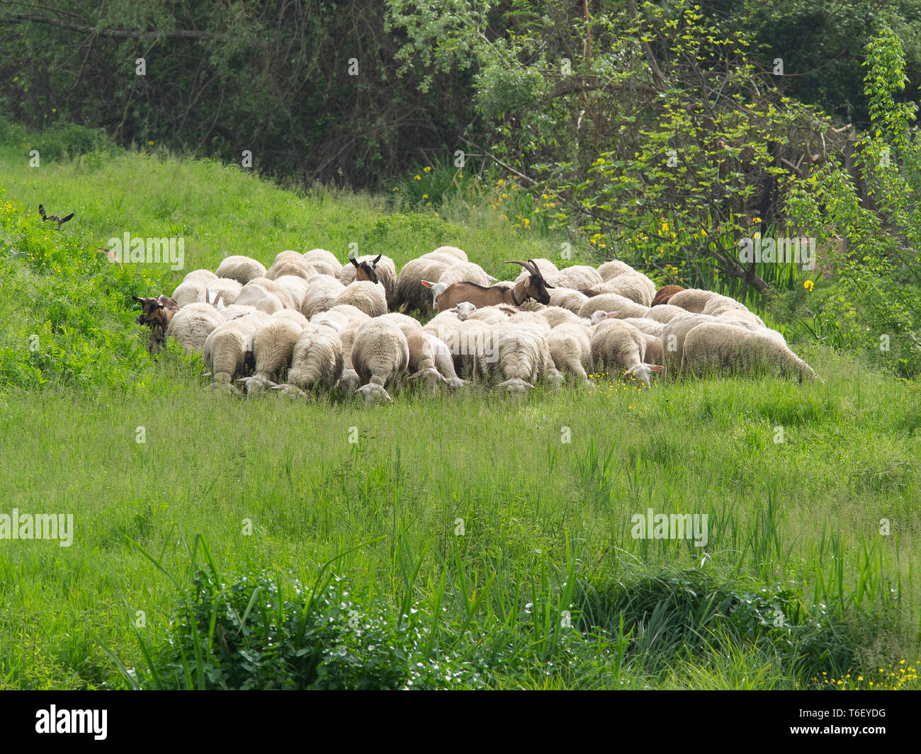 flock of sheep and goats graze surrounded by lush spring grass and flowers, in a sunny day - Stock Image