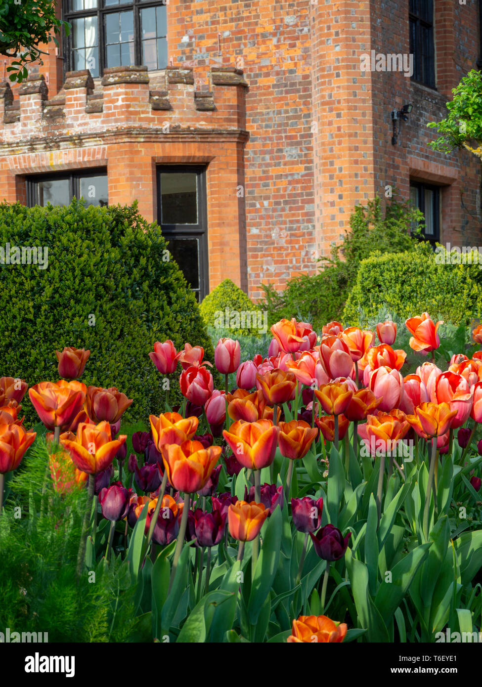 Chenies Manor House and Gardens in April showing colourful tulip borders. Portrait aspect of Chenies Manor house in the sun edged with tulip borders. - Stock Image