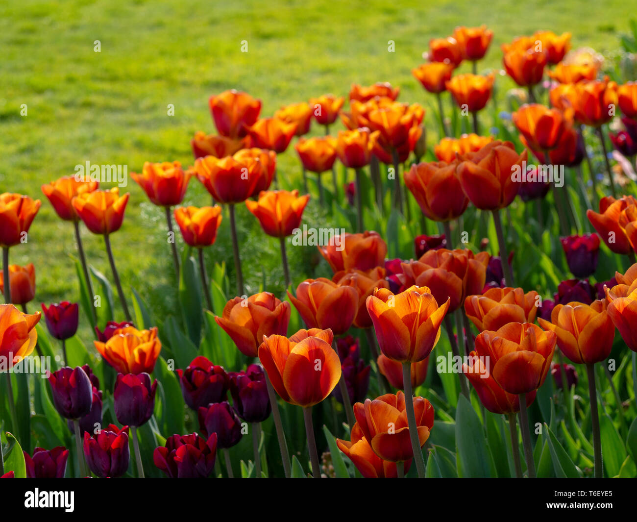 Lush green lawn with Tulipa 'Brown Sugar' backlit on a sunny afternoon at Chenies Manor Gardens, Buckinghamshire, in April - Stock Image