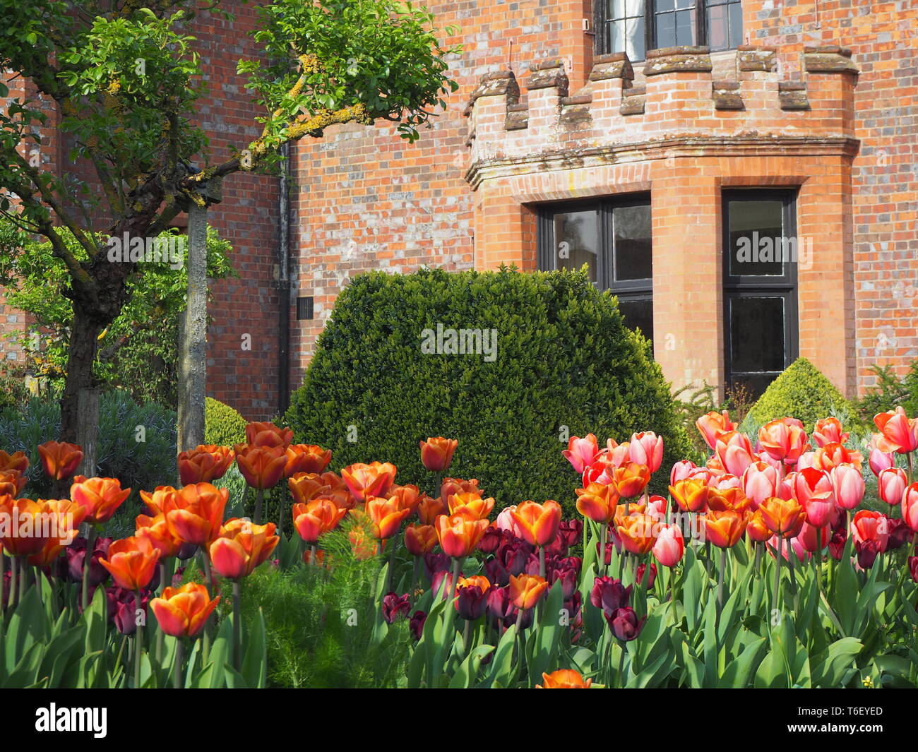 Chenies Manor House and Gardens in April showing colourful tulip borders framing the house and bay window.. - Stock Image