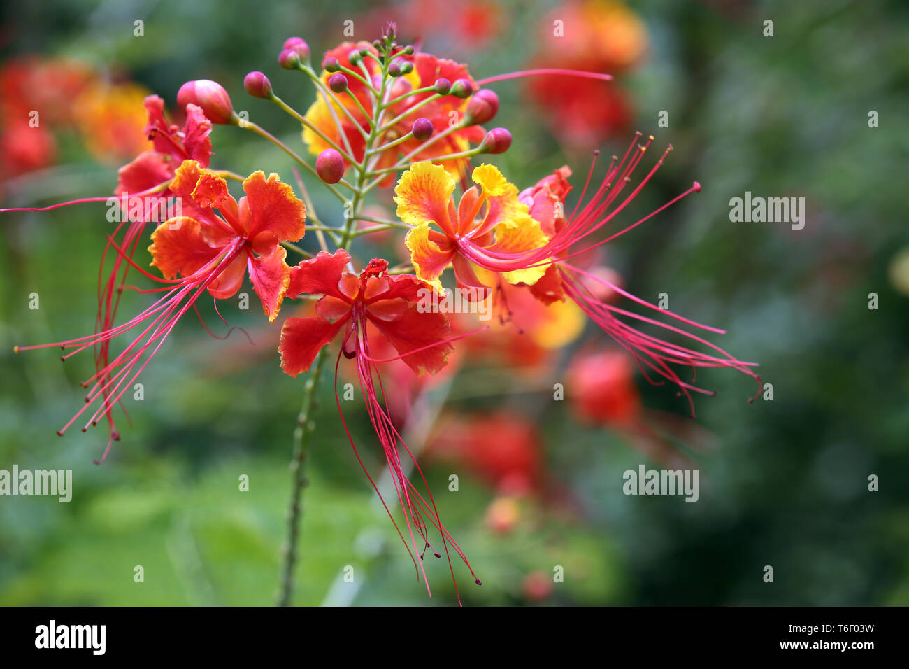 dwarf poinciana, pride of Barbados, flos pavonis - Stock Image