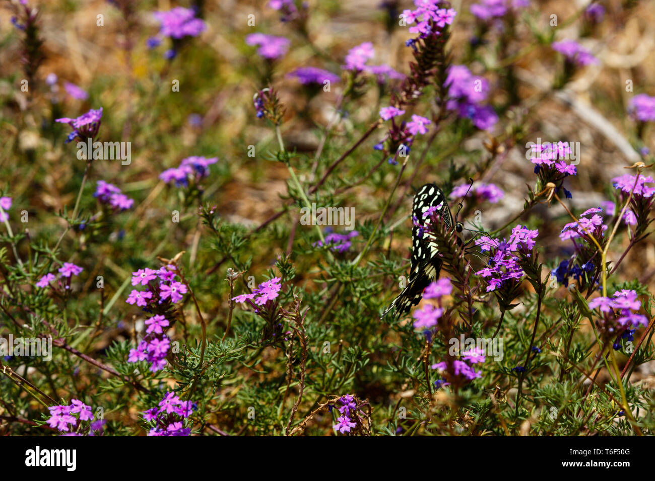 Black and white Butterfly flapping his wings in the field - Stock Image