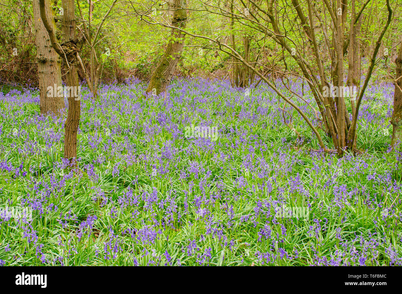 Large field of Bluebells in forest setting - Stock Image