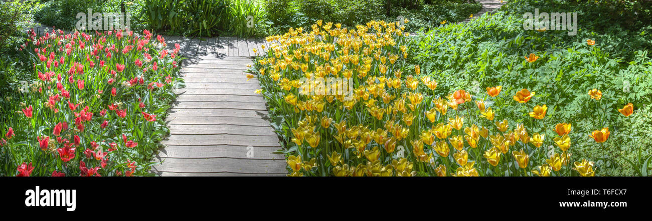Colorful bright tulips blossom in early spring Stock Photo