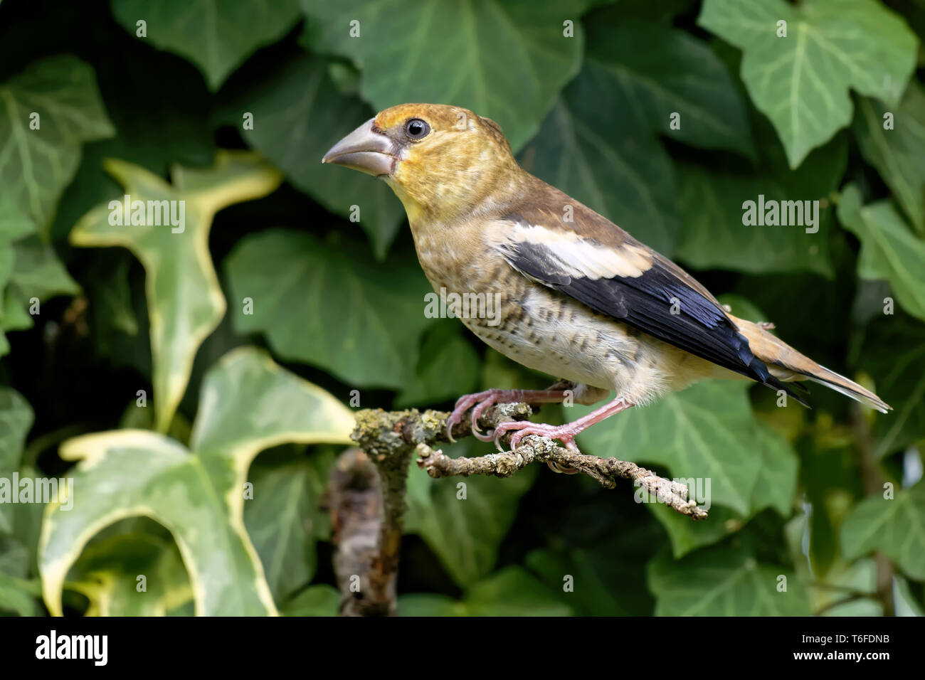 young hawfinch Stock Photo