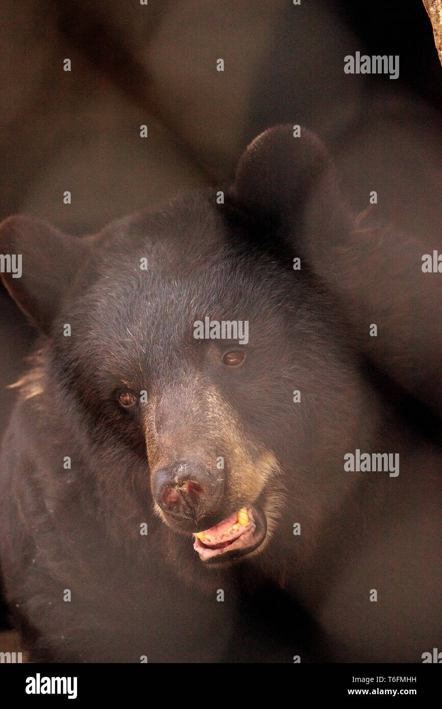 Black bear Ursus americanus relaxes in its cave Stock Photo