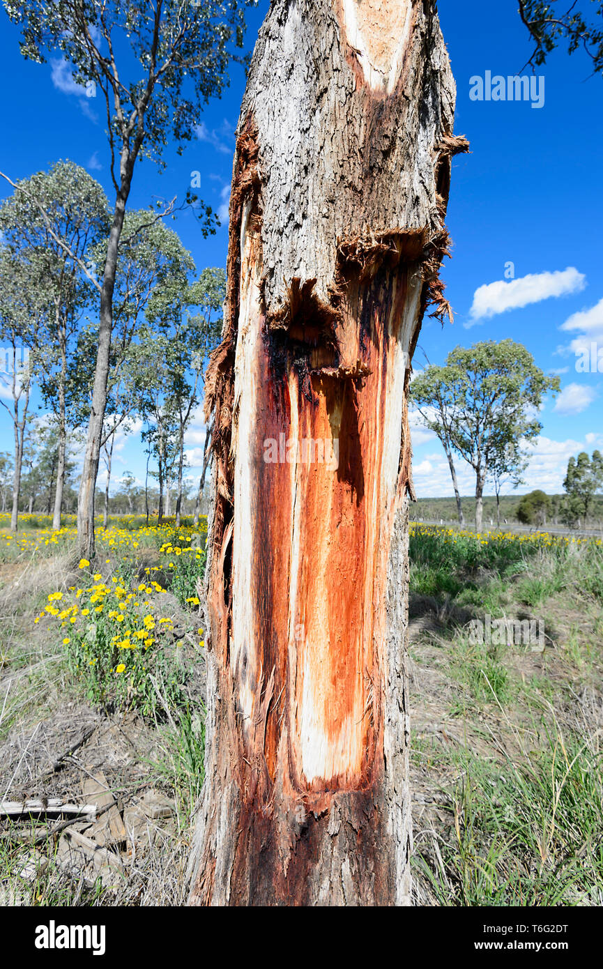 Damaged and bleeding gumtree oozing red sap, Queensland Interior, QLD, Australia Stock Photo