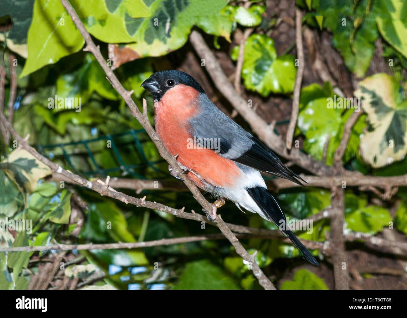 Bullfinch (Pyrrhula pyrrhula) - Stock Image