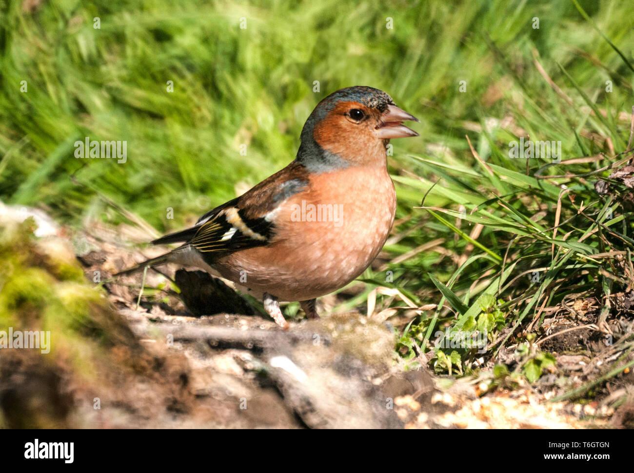 Chaffinch ( Fringilla coelebs) - Stock Image