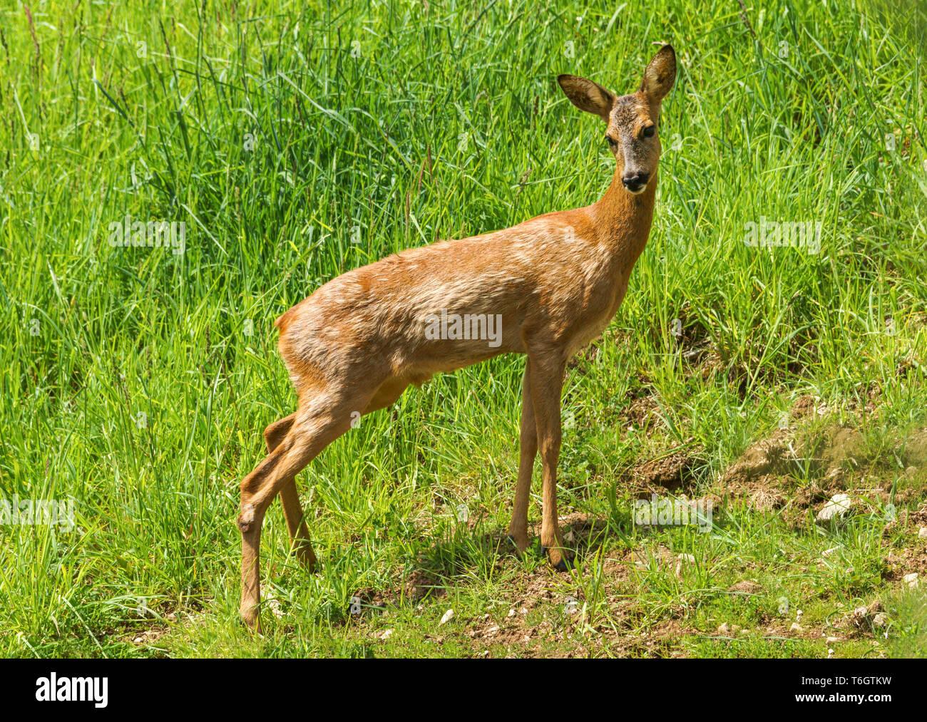 Female adult Roe Deer (Capreolus capreolus) in  southwest France. - Stock Image