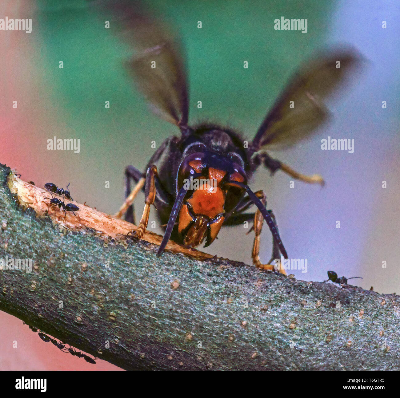 Asian Hornet (Vespa velutina) Now a pest species in France This photograph was taken in my garden in Hautes-Pyrenees. - Stock Image
