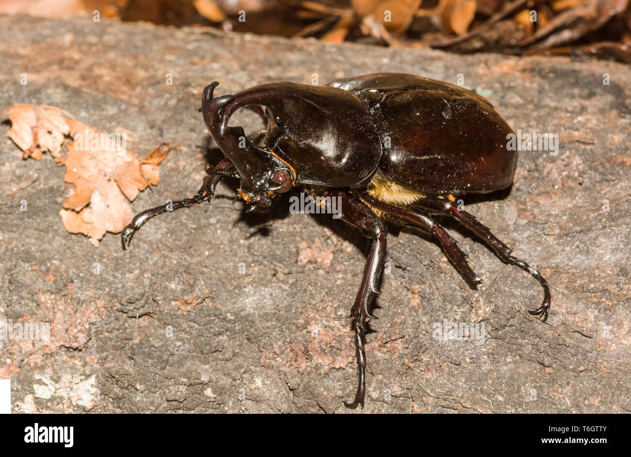Rhinoceros Beetle (Xylotrupes gideon). This beetle was photographed at Stockholm Zoo.Sweden. - Stock Image
