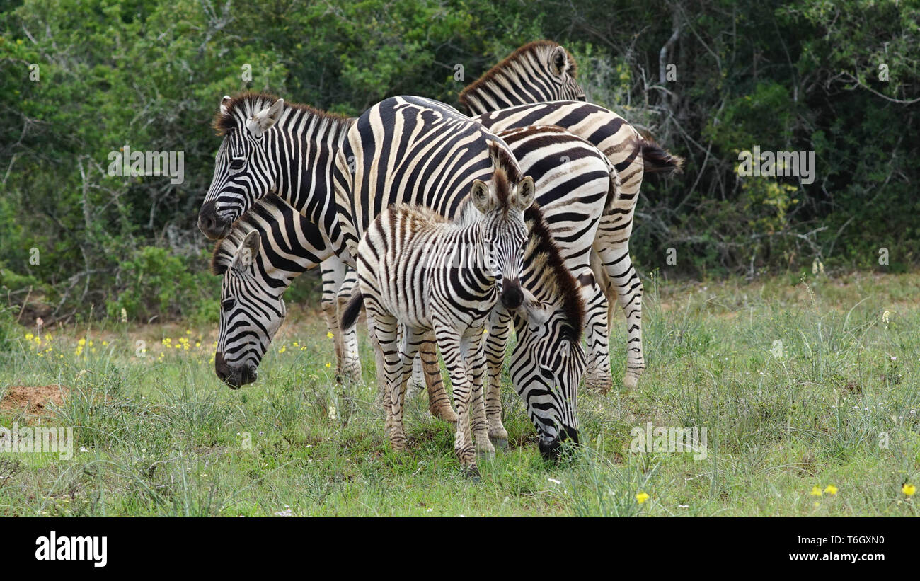 Zebras watching their environment, South Africa - Stock Image