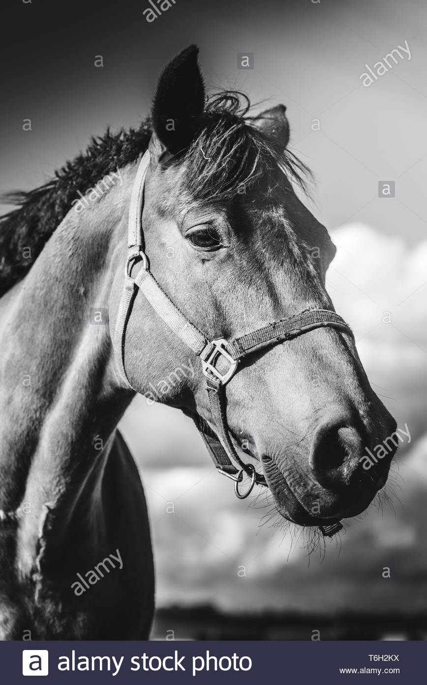 Horse standing on meadow, on farm in sunny day. Head closeup Black and white background - Stock Image