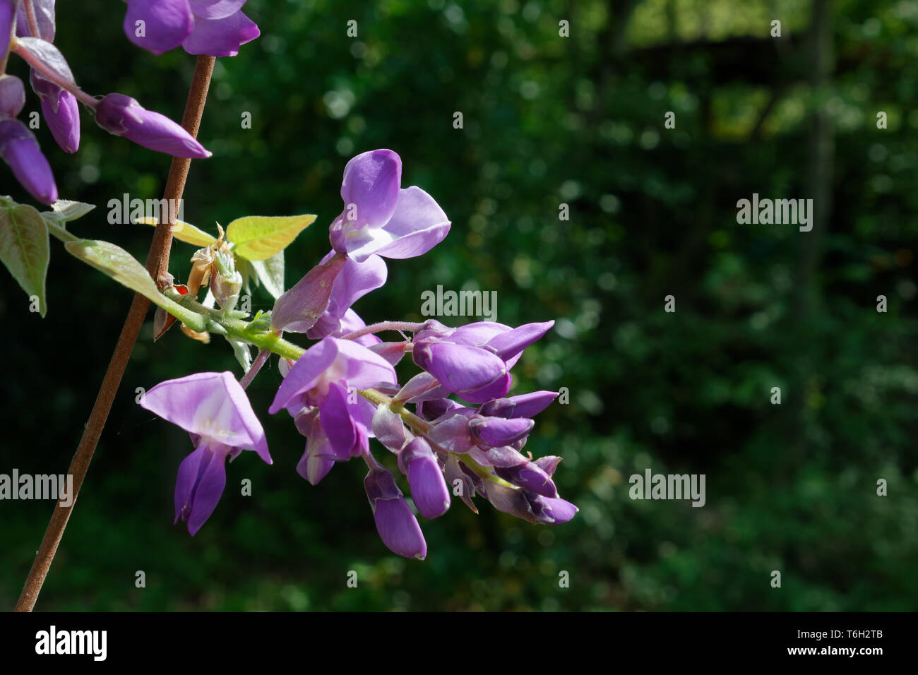Detail of the beautiful delicate purple flowers of wisteria, against a green natural background - Stock Image