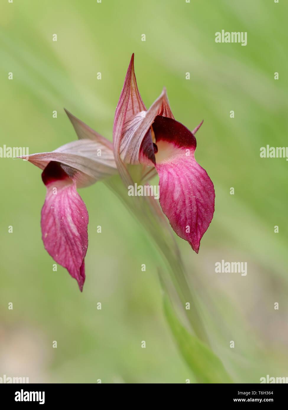 Serapias Lingua, Tongue orchid. Defocussed background. - Stock Image