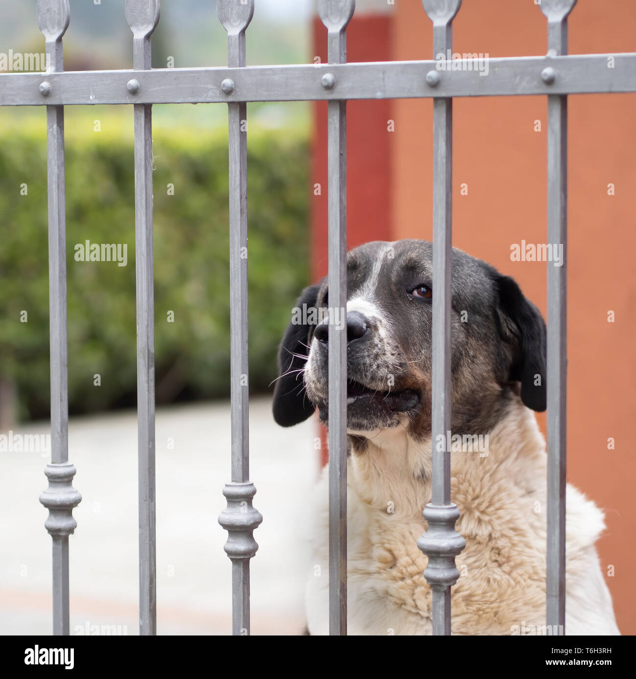 Large pet dog at garden, yard gate, for security and pet. - Stock Image