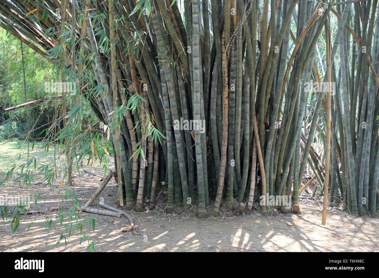 bamboo in the royal botanic gardens in kandy sri lanka - Stock Image