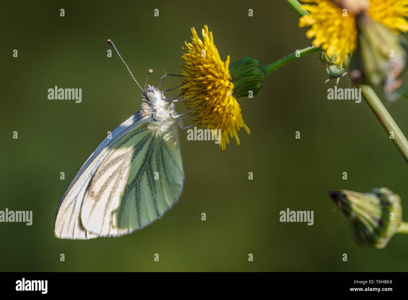 green-veined white - Pieris napi - Stock Image