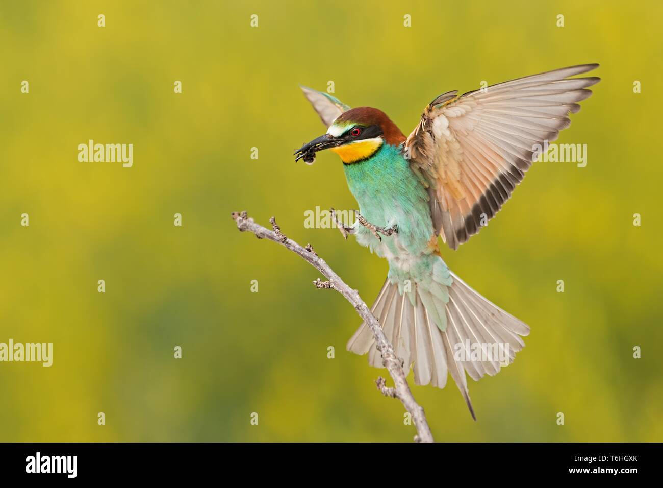 Bee-eater landing on a twig with bee in beak - Stock Image