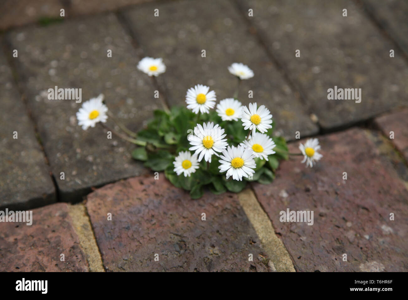 Group of Daisies isolated on a block paving patio - Stock Image