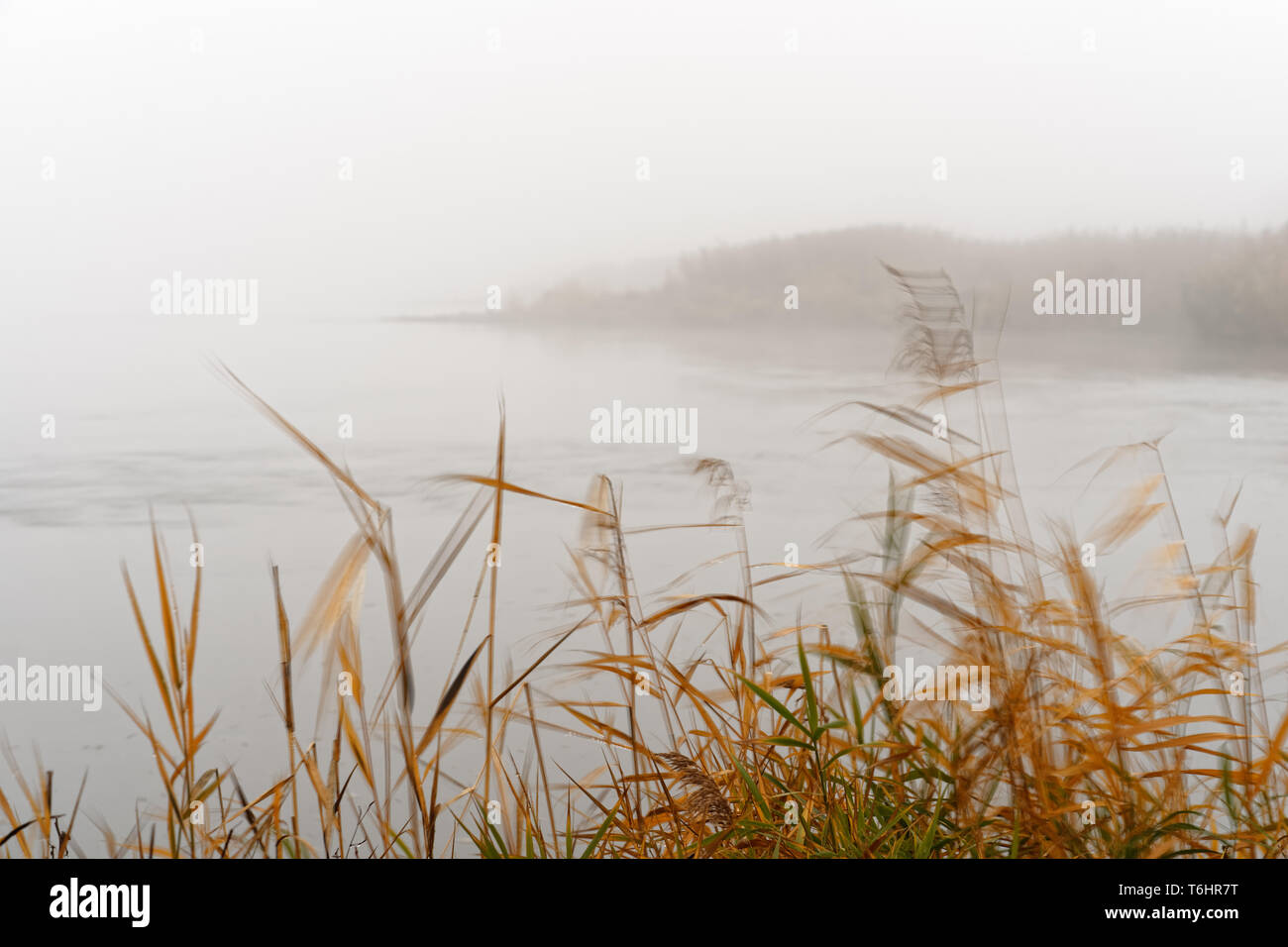 On a gentle breeze, elegantly moving stalks and grasses on the banks of the Oder in the foreground, dense morning fog makes the background only dimly  - Stock Image