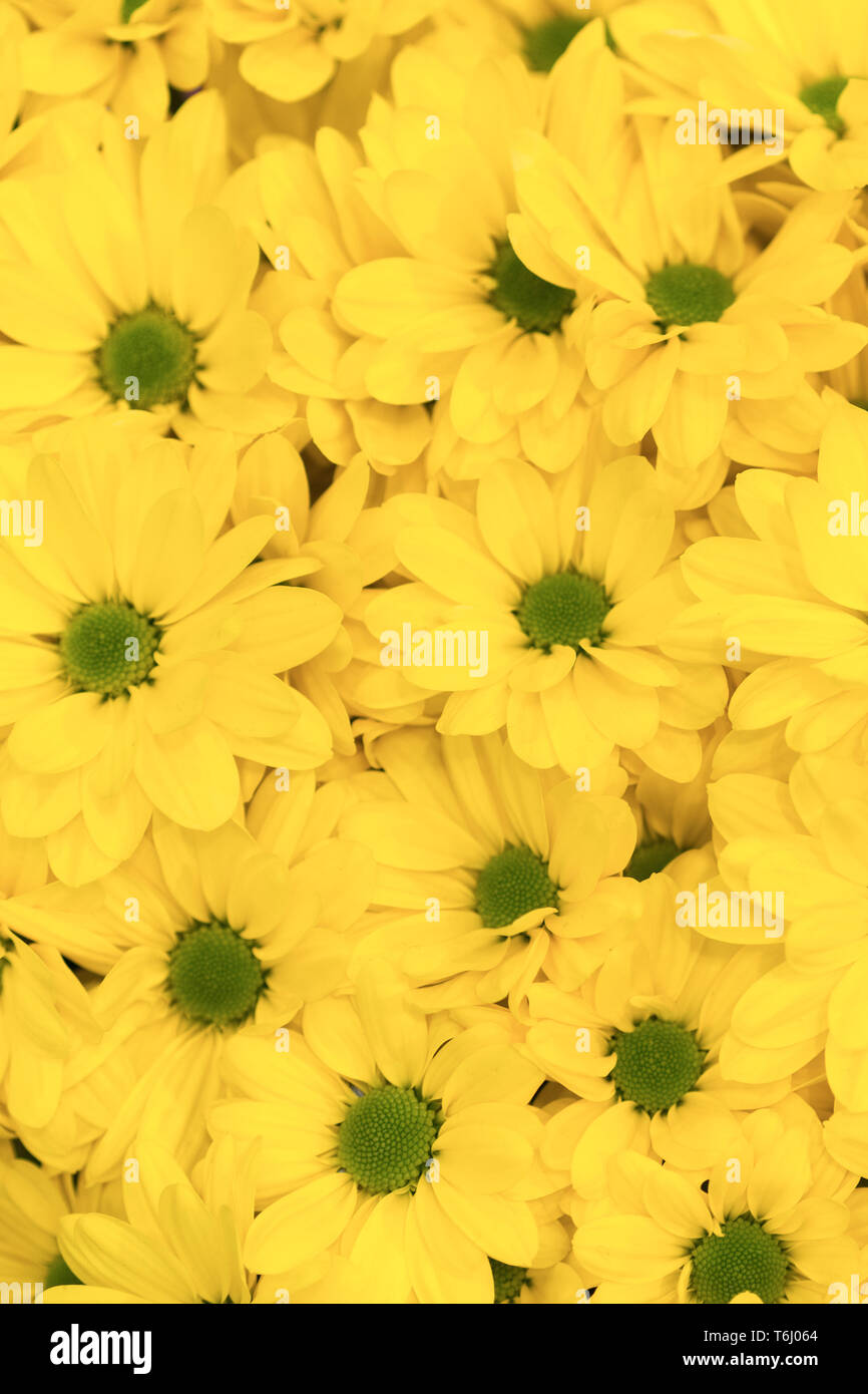 yellow flowers background yellow chrysanthemums daisy flower background pattern bloom vertical photo stock photo alamy https www alamy com yellow flowers background yellow chrysanthemums daisy flower background pattern bloom vertical photo image245028396 html