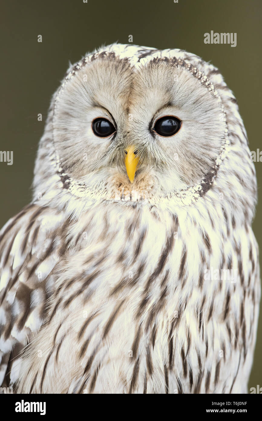 Ural owl (Strix uralensis) is a medium-sized nocturnal owl of the genus Strix, with up to 15 subspecies found in Europe and northern Asia. - Stock Image