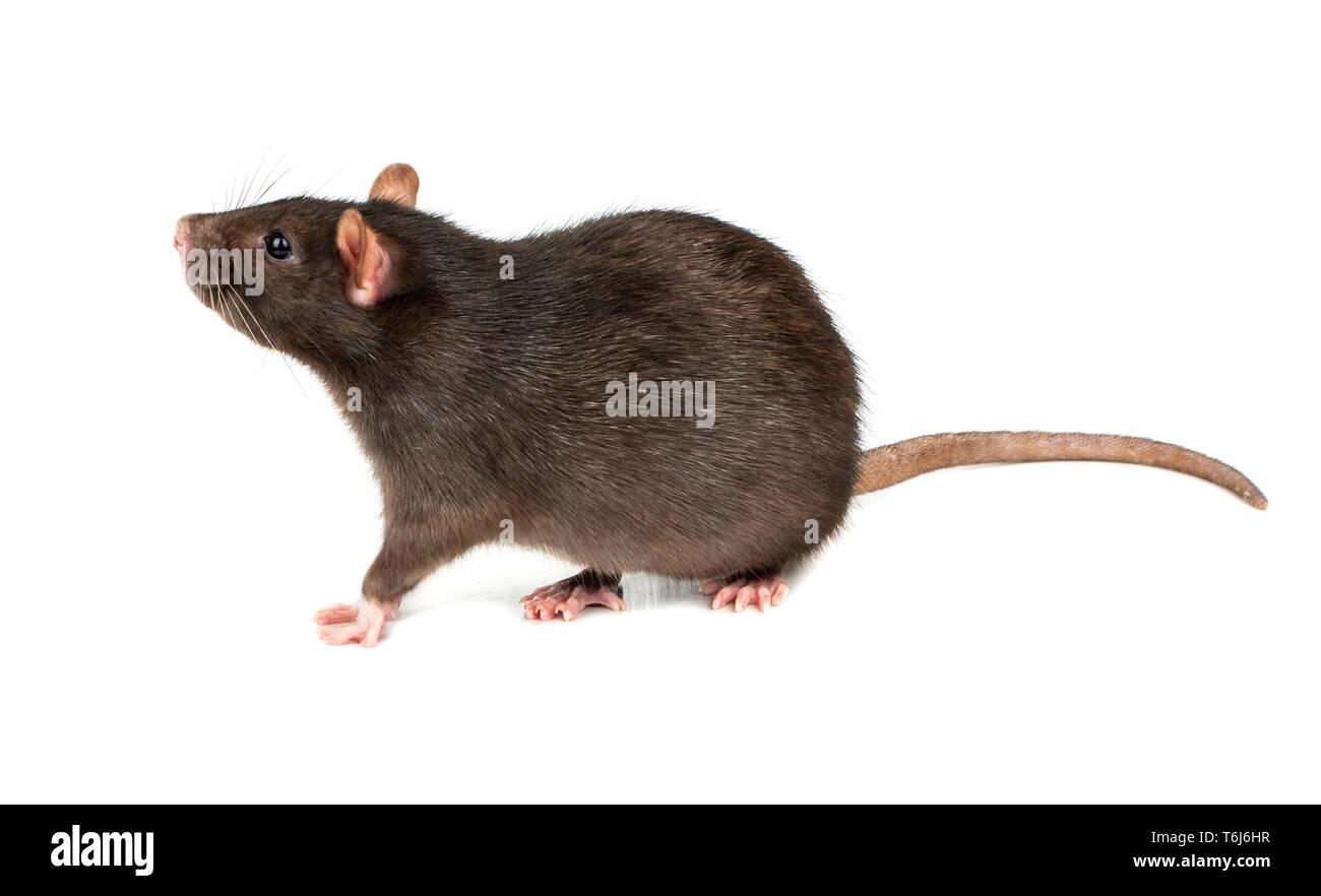 Thick grey rat isolated on white background - Stock Image