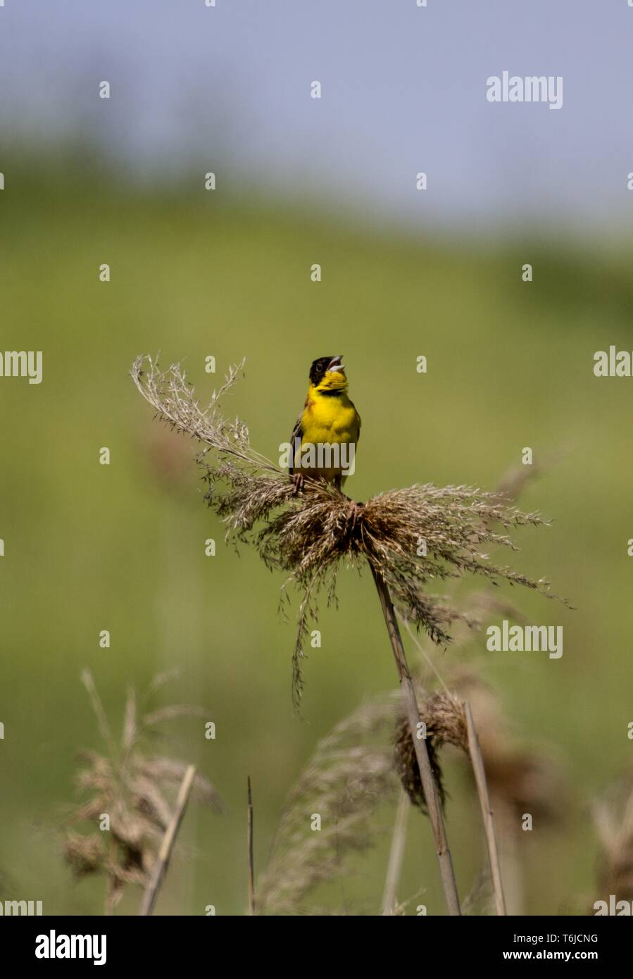 Vashlovani Managed Nature Reserve, Pistachio forest, Black-headed Bunting, Georgia - Stock Image