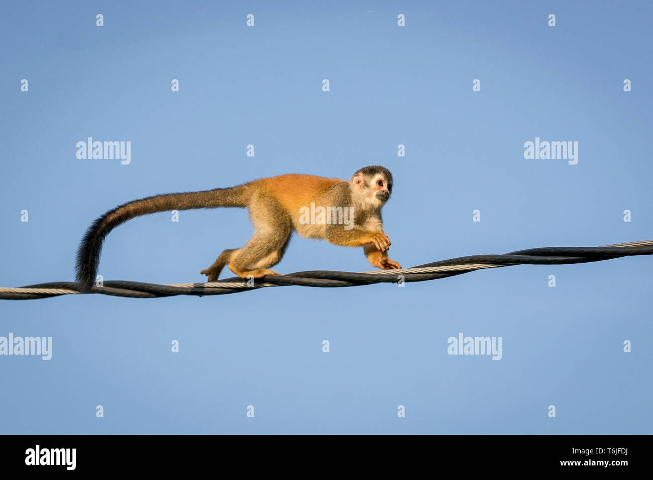 Squirrel monkey crossing the road on a wire in Manuel Antonio, Costa Rica Stock Photo